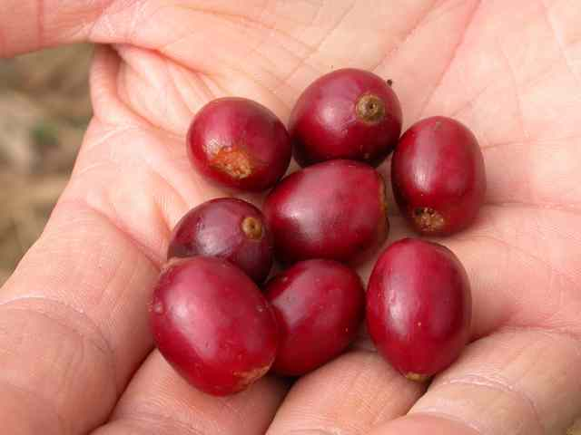 100% Arabica coffee is only made with Arabica beans.